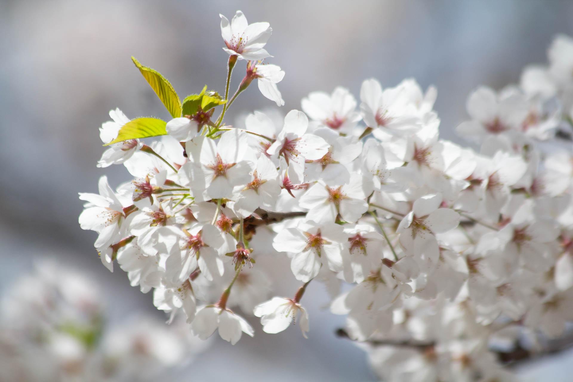 Sakura-Watch-May-10-2018-123.jpg