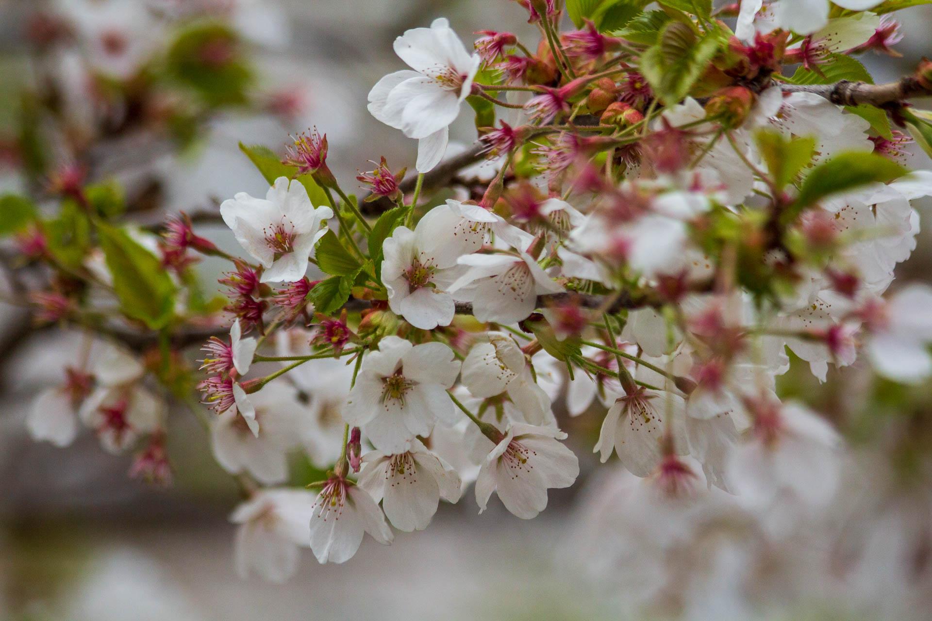 Sakura-Watch-May-10-2018-130.jpg