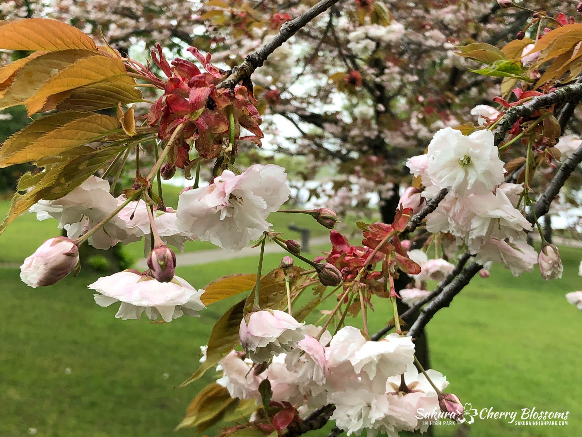 Sakura-Watch-May-22-2018-6.jpg