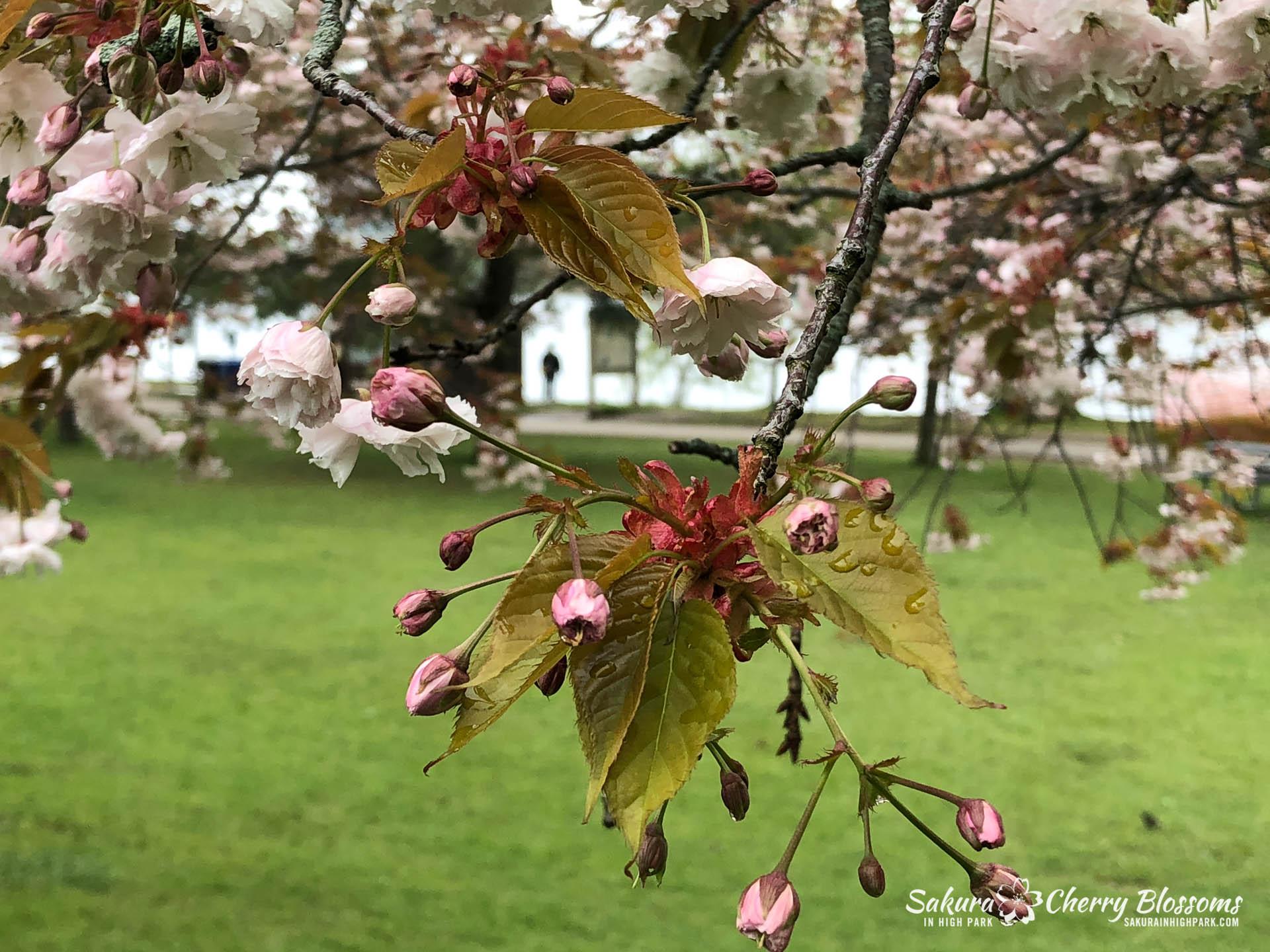 Sakura-Watch-May-22-2018-1.jpg