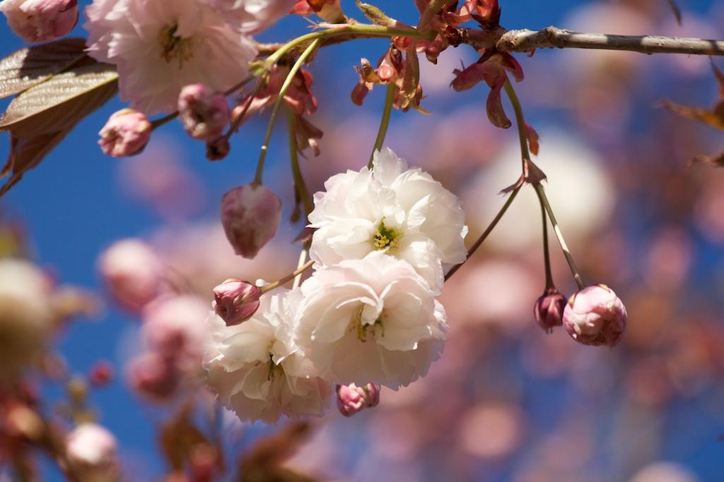 Sakura_2258-2012-05-05.jpg