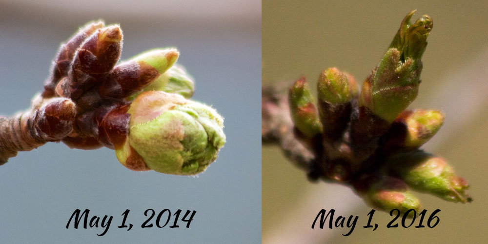 Comparison of bud development from May 1, 2014 and May 1, 2016 by SakurainHighPark.com