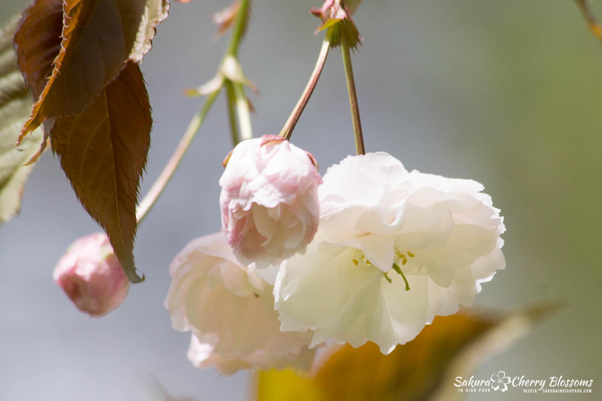 SakurainHighPark-May13-2016-14.jpg