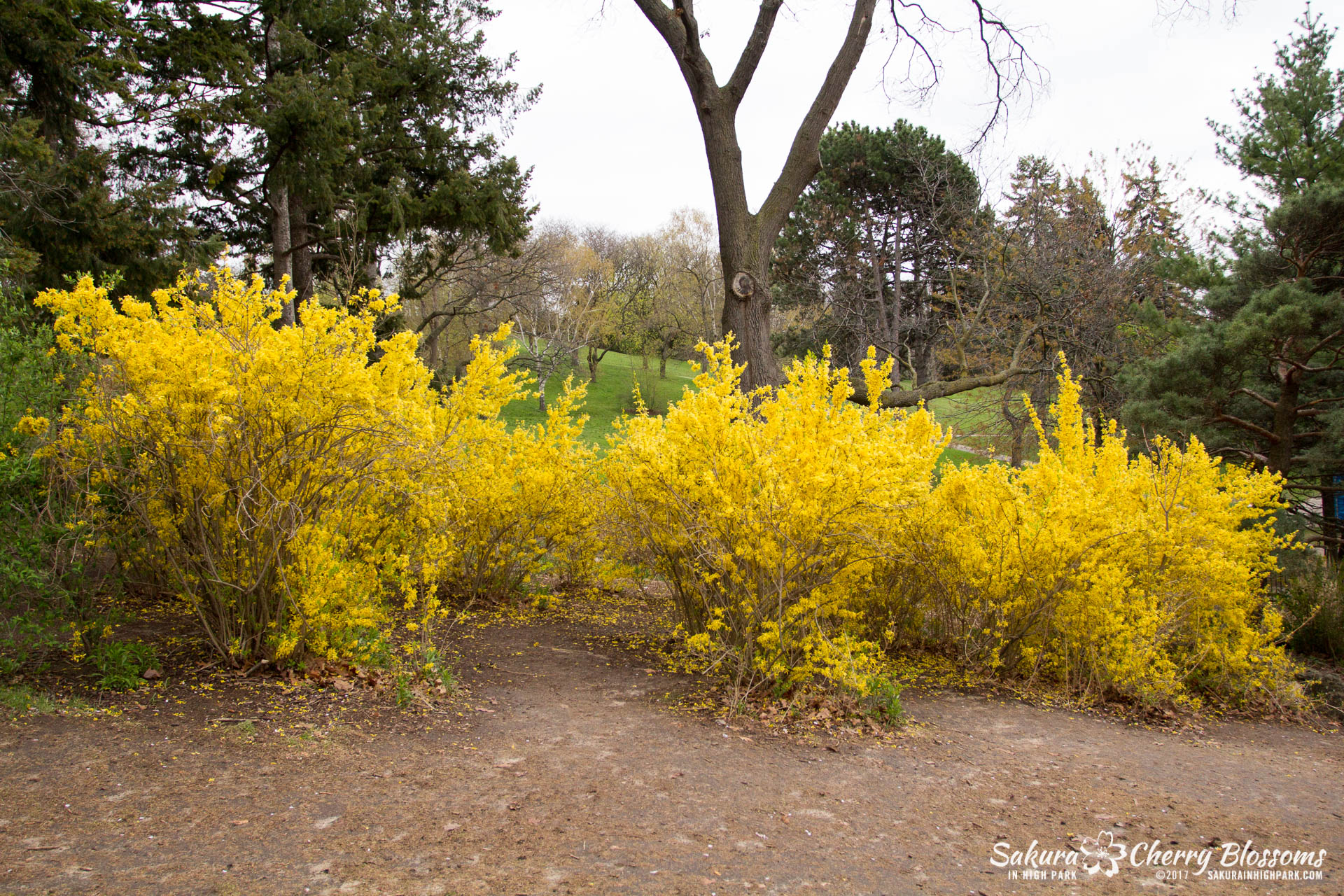 Forsythia bushes near the bottom of Cherry Hill