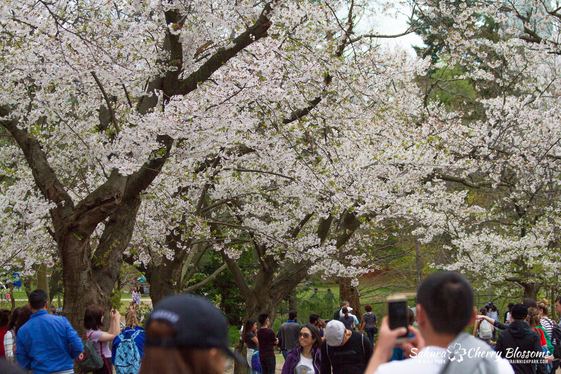 latest bloom predictions - Want to know my latest bloom predictions? I'll tell you the stage of the trees in High Park plus where in the park and when will be the best time to see the cherry blossoms.
