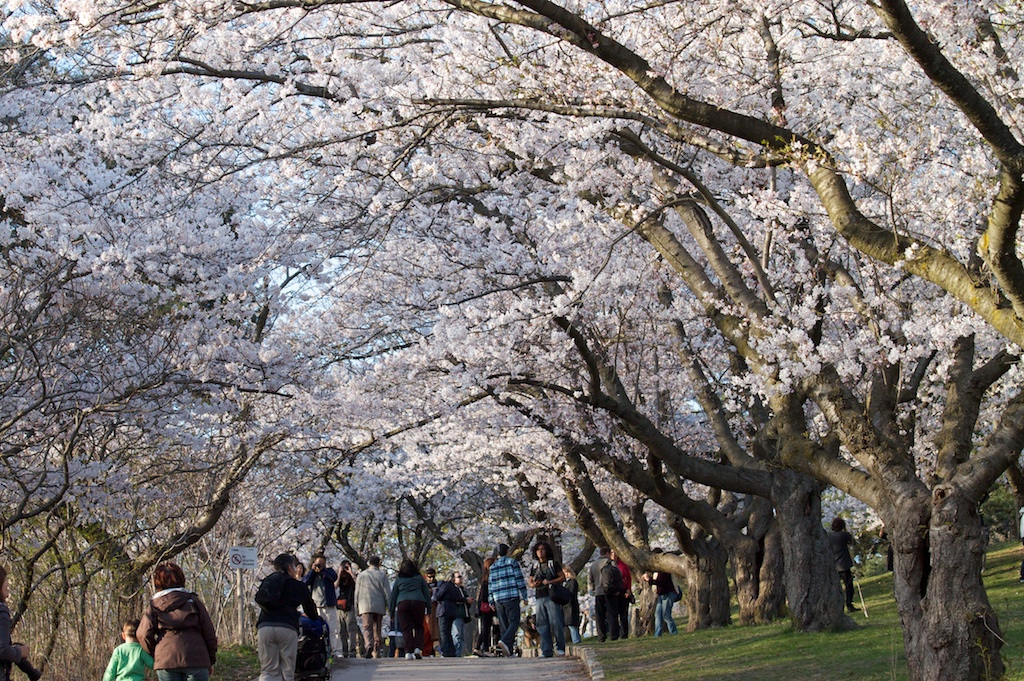 Upcoming Events - Special days or events that relate to the cherry blossom will be shared and posted here.