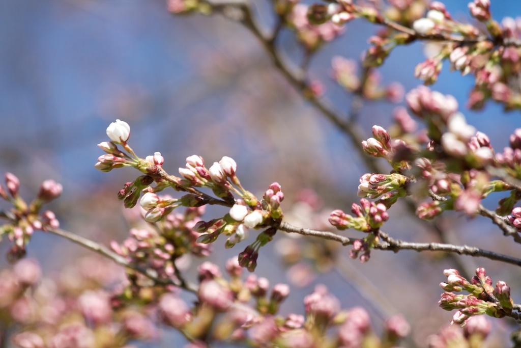 Sakura_159-2012-04-04.jpg