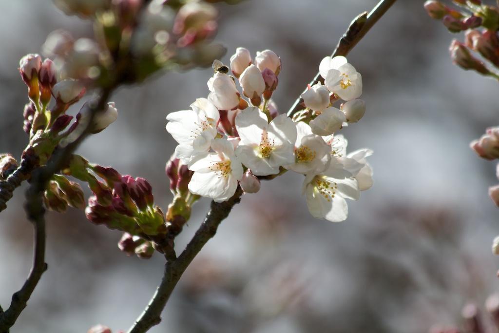 Sakura_131-2012-04-04.jpg