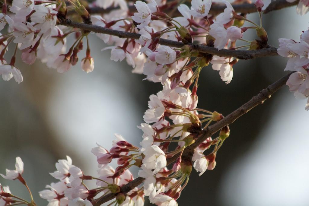Sakura_379-2012-04-09.jpg