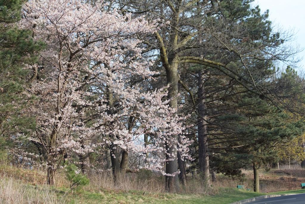 Sakura_372-2012-04-09.jpg