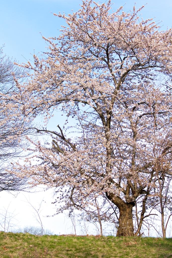 Sakura_363-2012-04-09.jpg