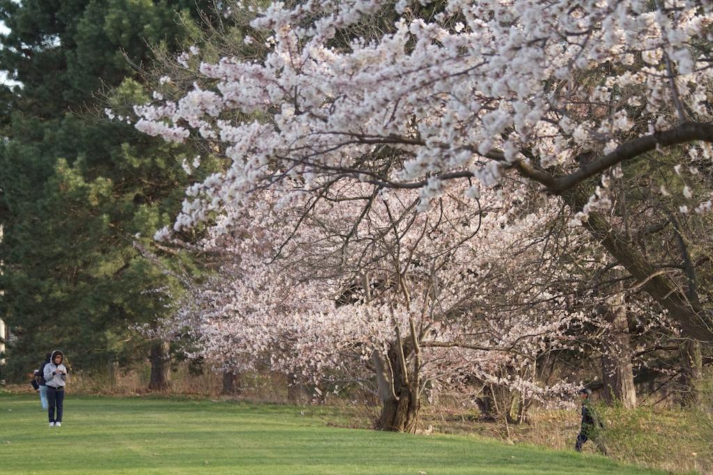 Sakura_358-2012-04-09.jpg