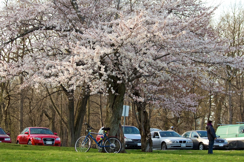 Sakura_355-2012-04-09.jpg