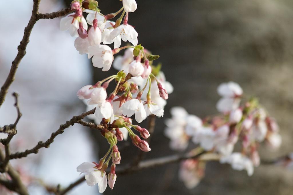 Sakura_462-2012-04-09.jpg