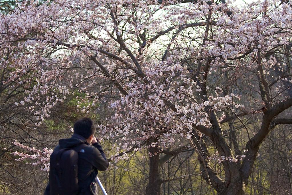 Sakura_422-2012-04-09.jpg
