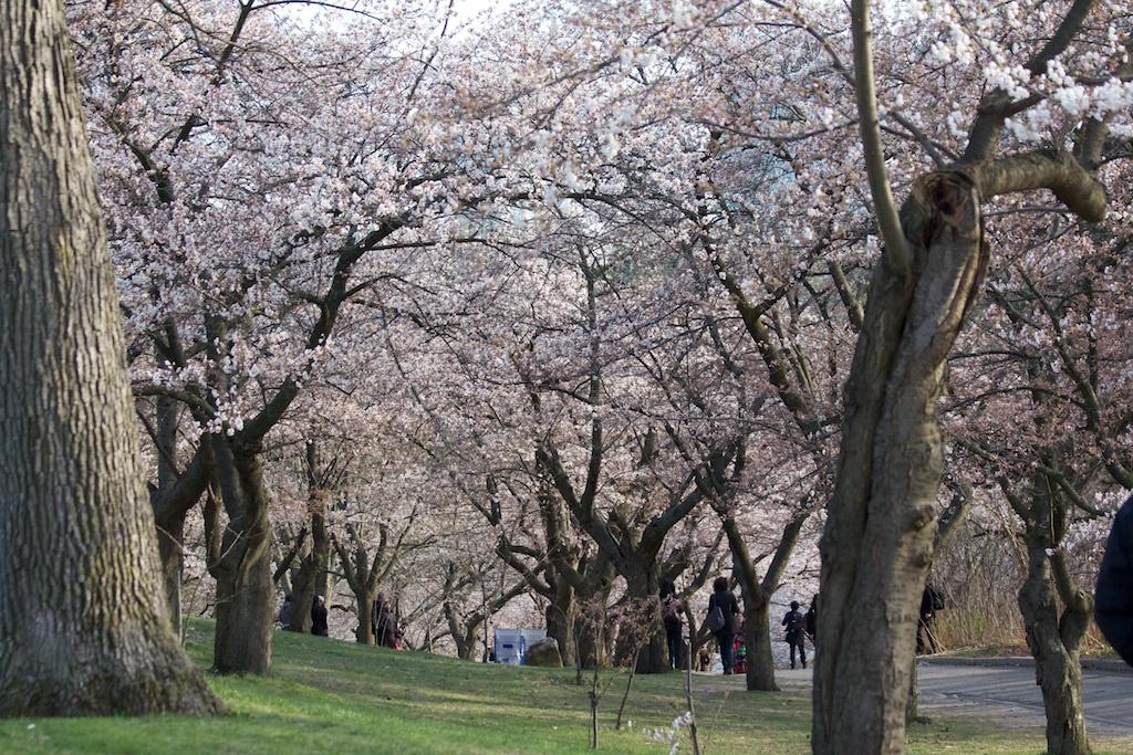 Sakura_426-2012-04-09.jpg