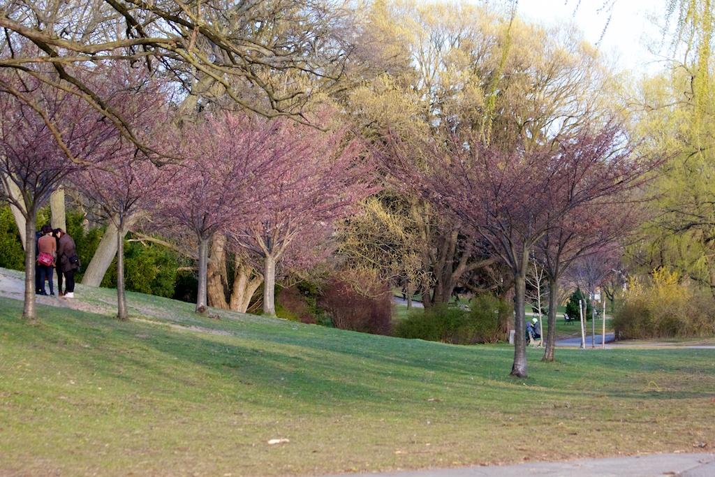 Sakura_520-2012-04-09.jpg