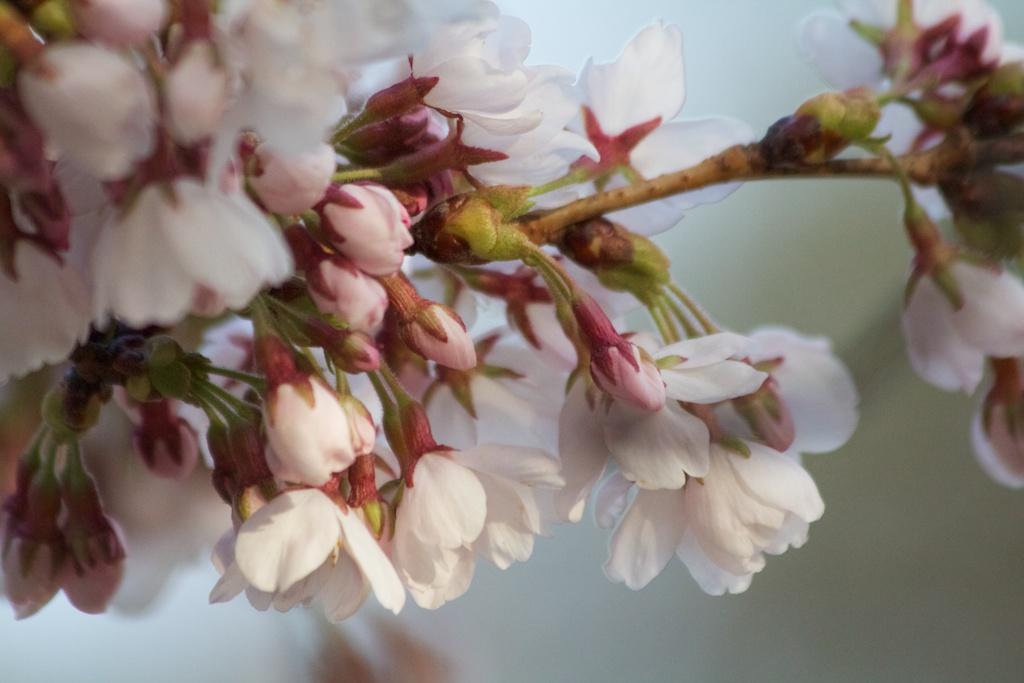 Sakura_496-2012-04-09.jpg