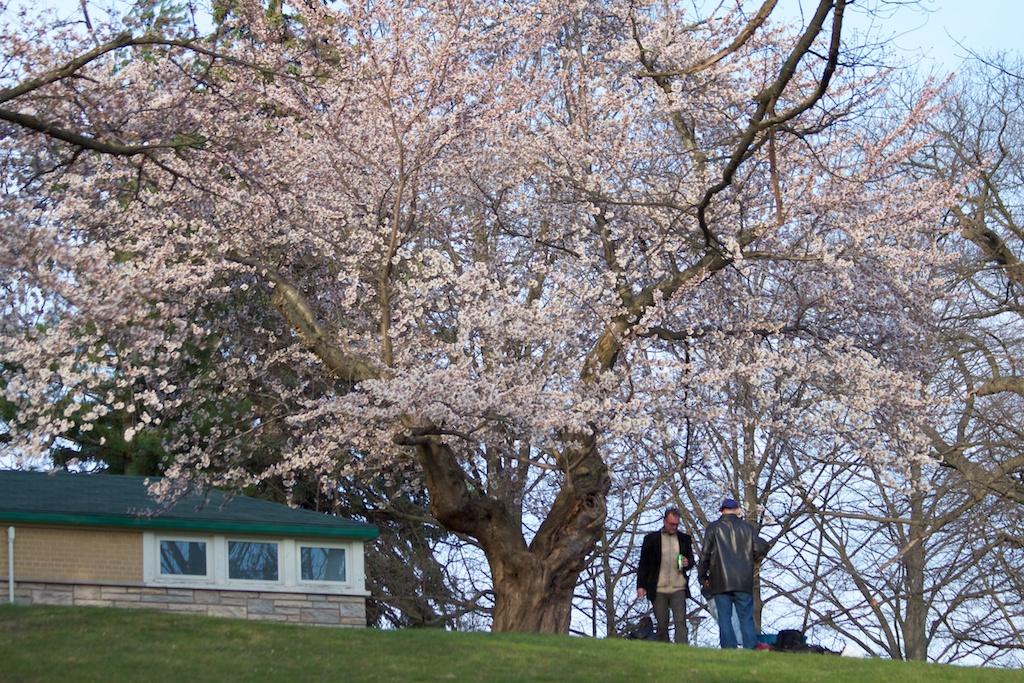 Sakura_471-2012-04-09.jpg