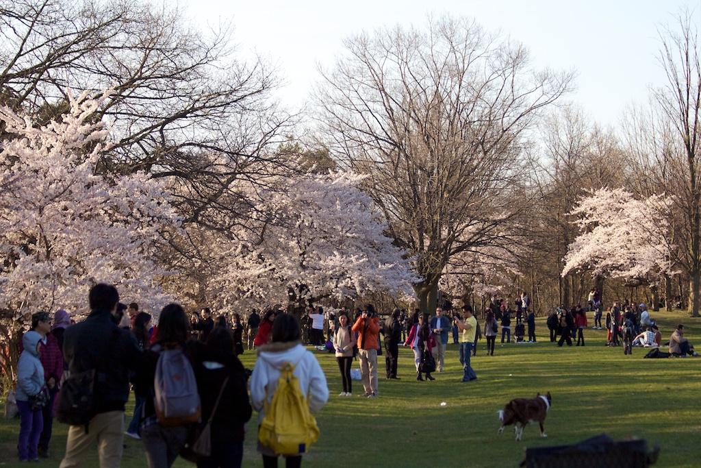 Sakura_627-2012-04-13.jpg