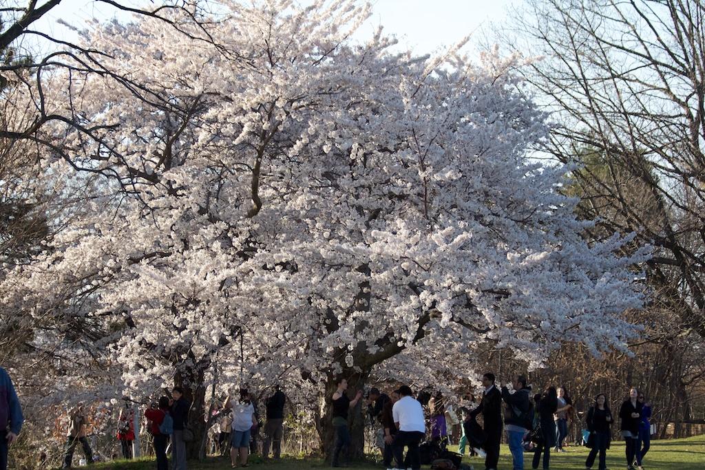 Sakura_616-2012-04-13.jpg