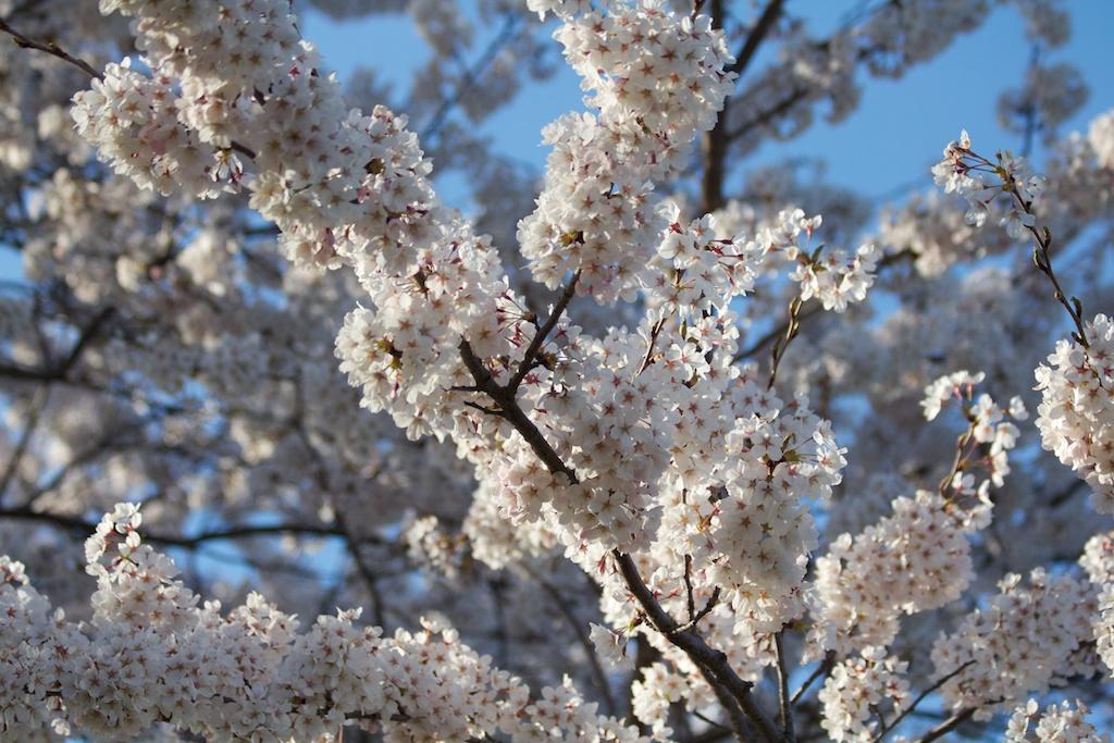 Sakura_611-2012-04-13.jpg