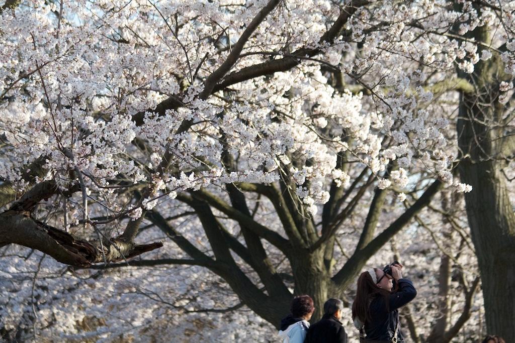 Sakura_596-2012-04-13.jpg
