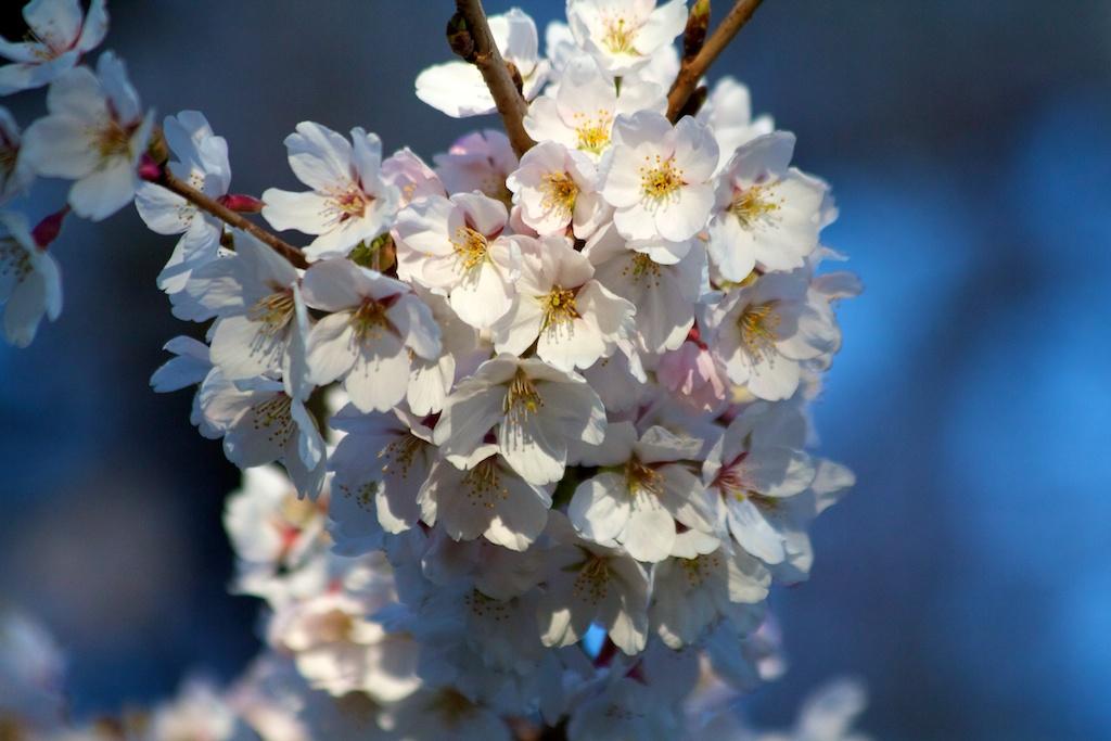Sakura_587-2012-04-13.jpg