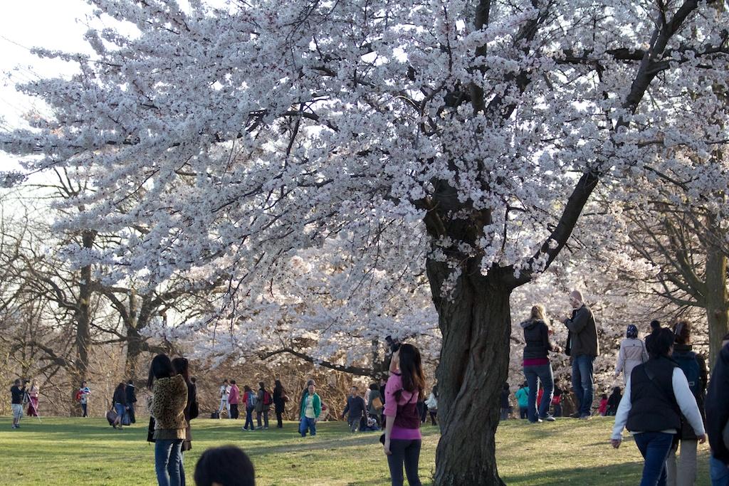 Sakura_581-2012-04-13.jpg