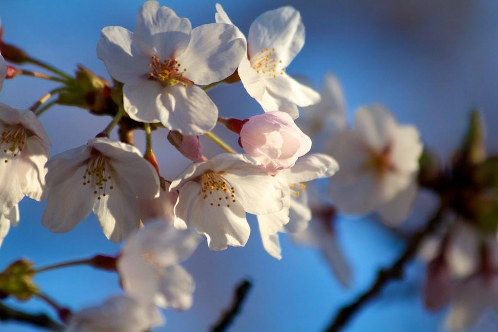 Sakura_714-2012-04-13.jpg