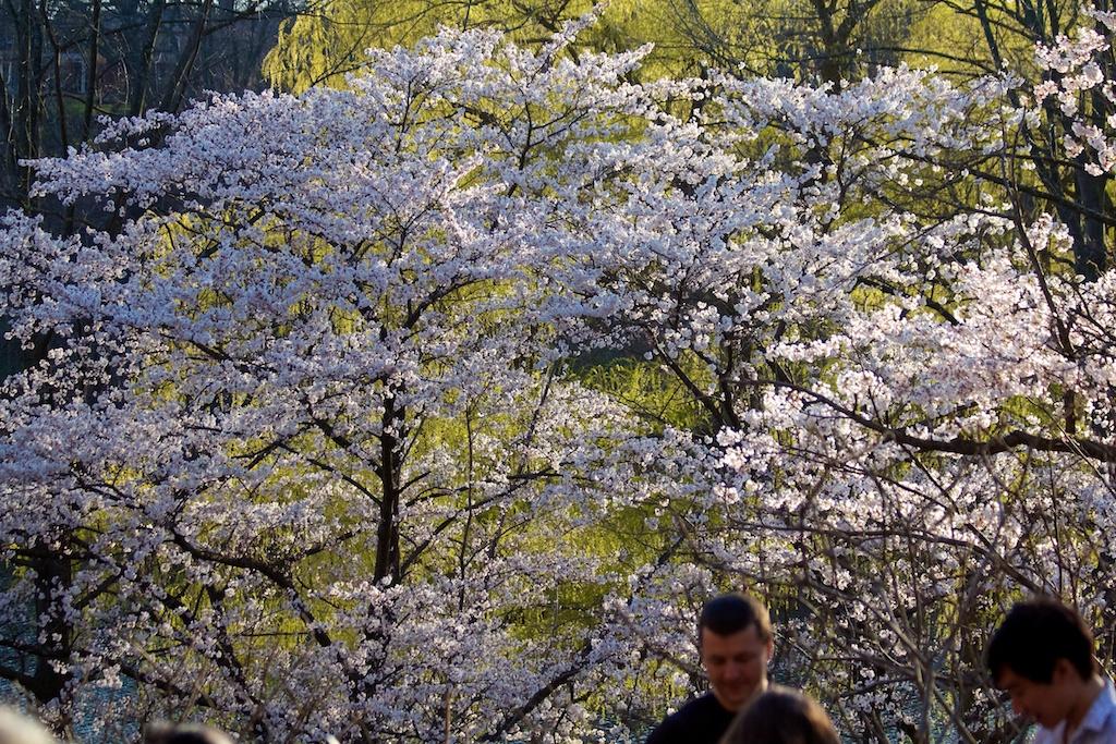 Sakura_700-2012-04-13.jpg