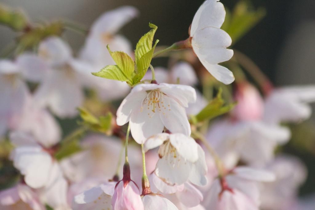 Sakura_669-2012-04-13.jpg