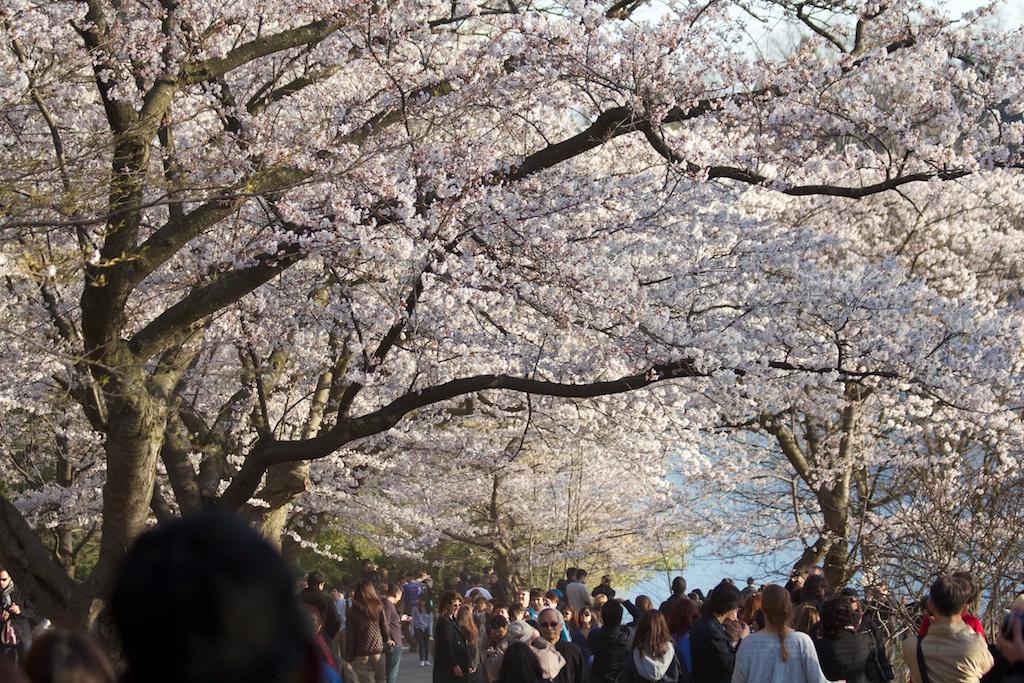 Sakura_678-2012-04-13.jpg
