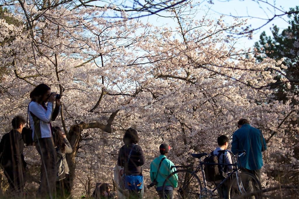 Sakura_638-2012-04-13.jpg