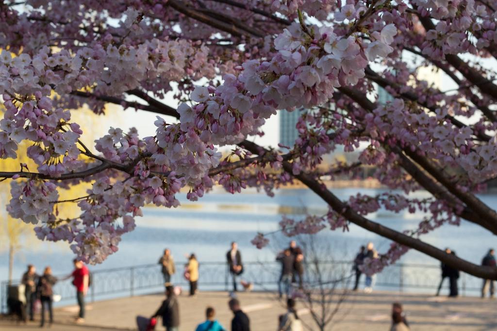 Sakura_756-2012-04-13.jpg