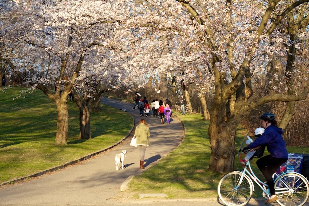 Sakura_785-2012-04-13.jpg
