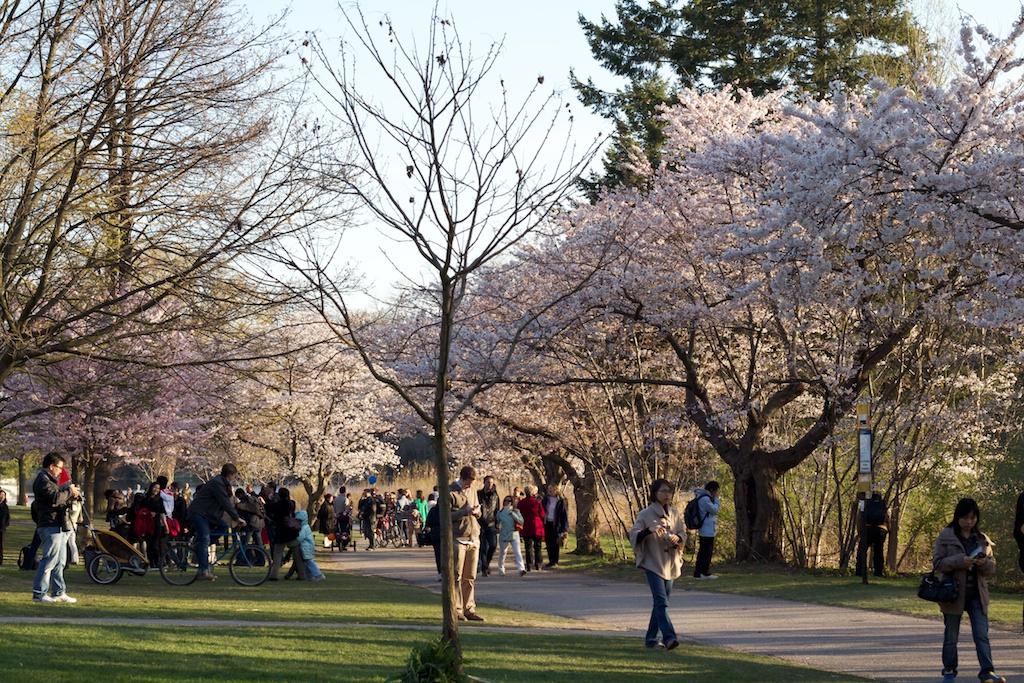 Sakura_730-2012-04-13.jpg