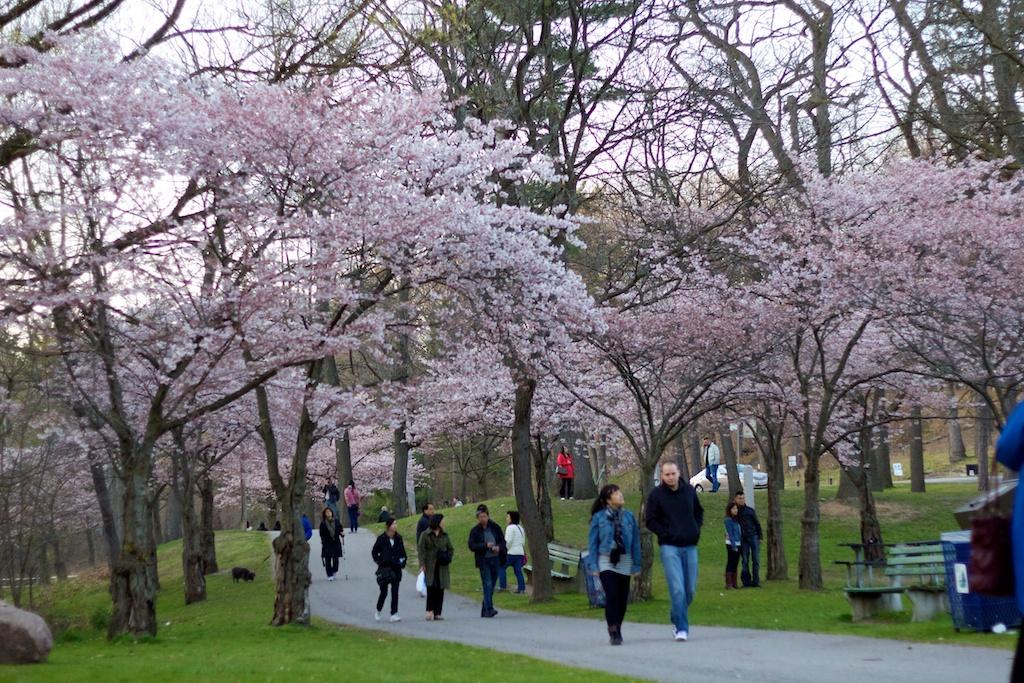Sakura_825-2012-04-13.jpg
