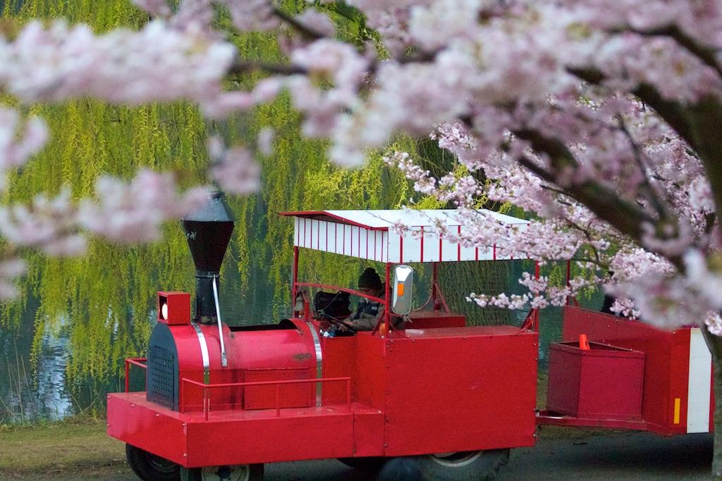 Sakura // Cherry Blossoms in High Park - April 15, 2012 - www.SakurainHighPark.com
