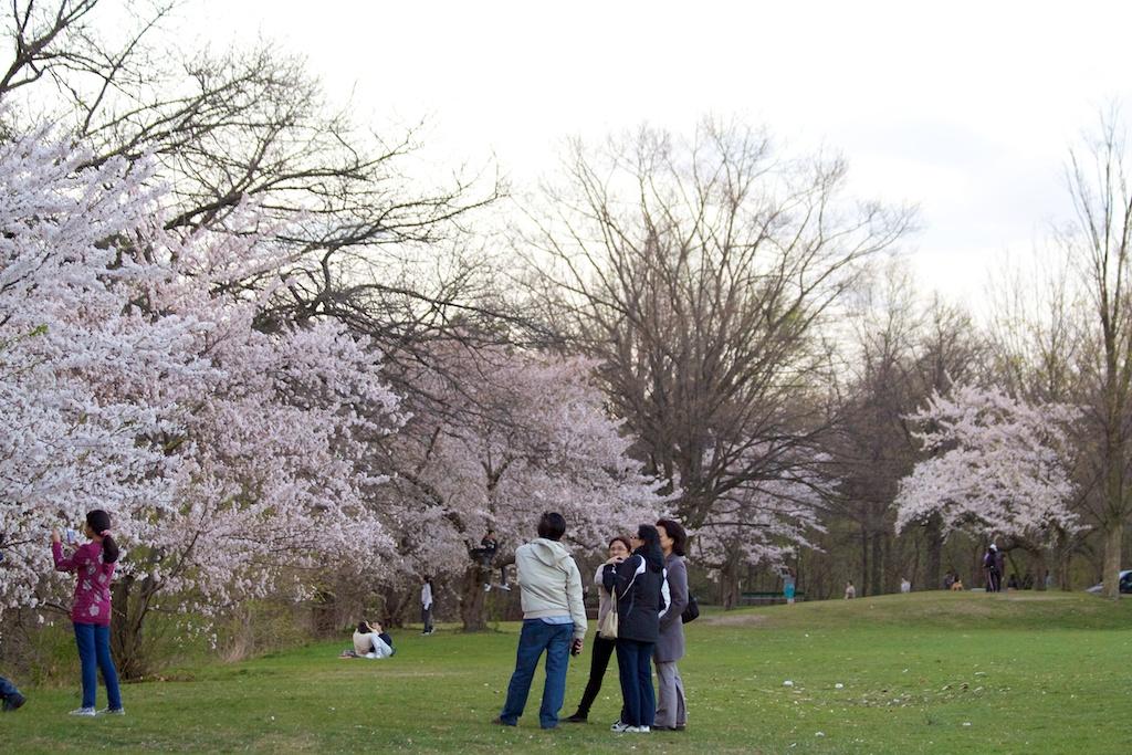 Sakura // Cherry Blossoms in High Park - April 16, 2012 - www.SakurainHighPark.com