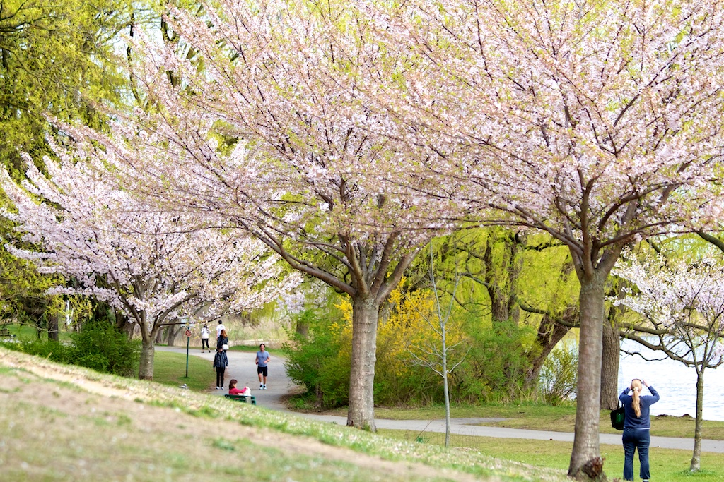 Sakura // Cherry Blossoms in High Park - April 20, 2012 - www.SakurainHighPark.com