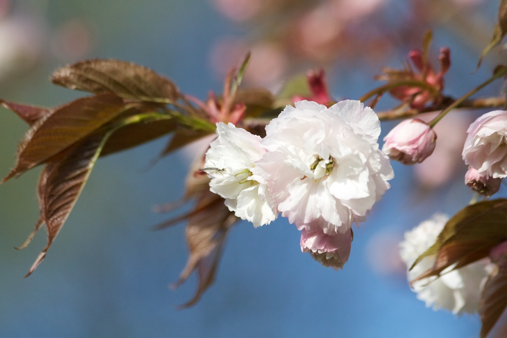 Sakura // Cherry Blossoms in High Park - May 5, 2012 - www.SakurainHighPark.com