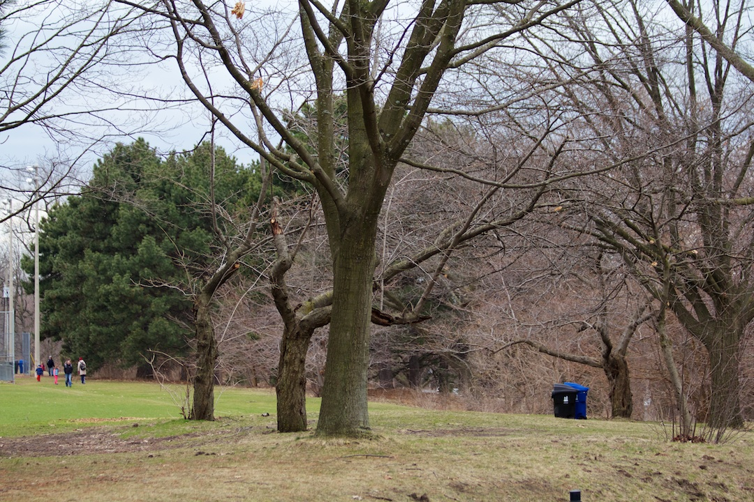 First signs of Sakura buds getting bigger captured on April 14, 2013. SakuraInHighPark.com