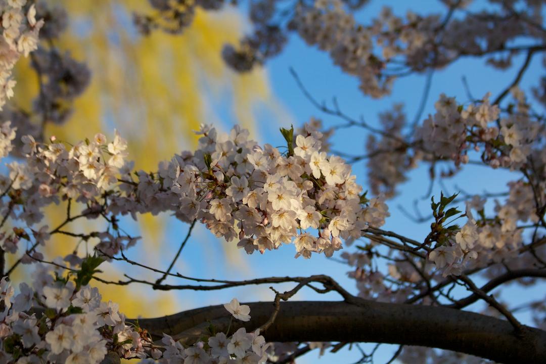 Sakura // Cherry Blossoms are at 70-80% near peak bloom on May 3, 2013. www.SakuraInHighPark.com ©Steven Joniak Photography