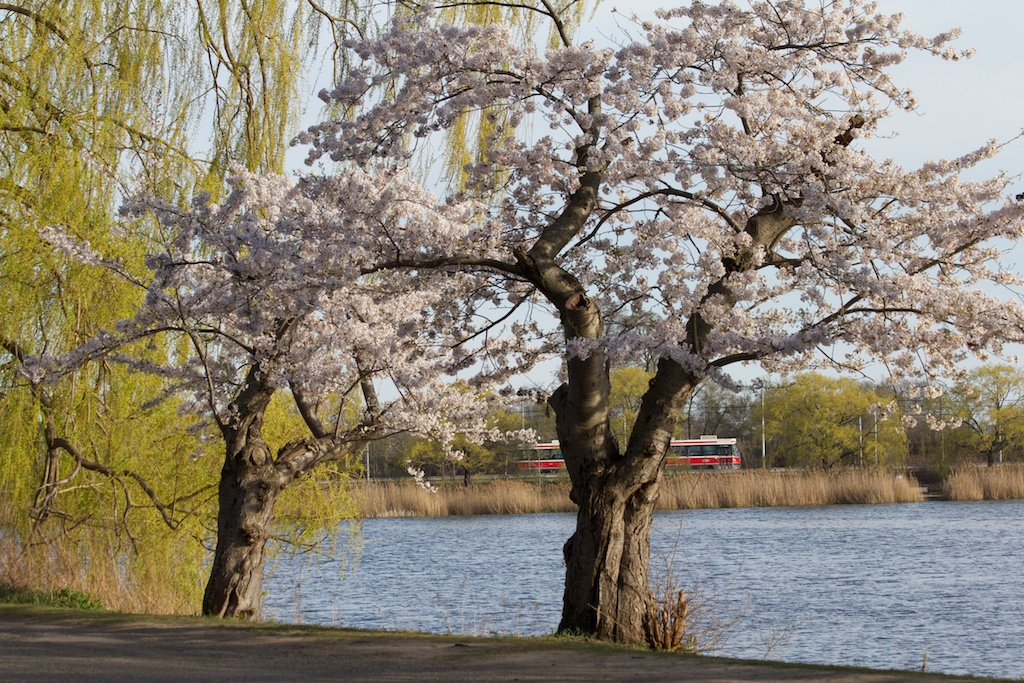Quick Update: please respect the cherry Blossoms and the park. -