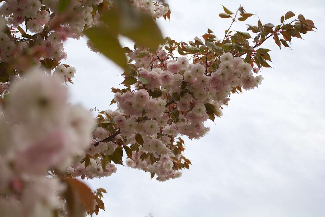 Late blooming Akebono and Fugenzo variation of Sakura blossoms in High Park taken May 15, 2013. www.SakuraInHighPark.com ©Steven Joniak Photography