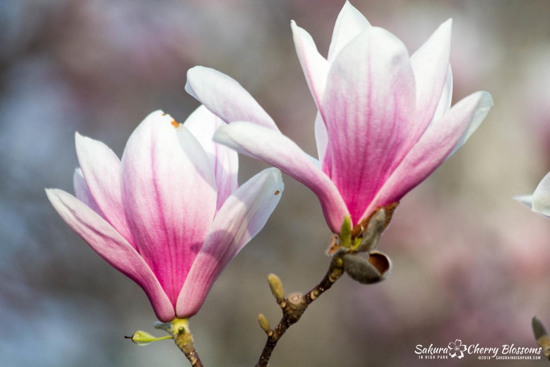 First blossom spotted but no pleak bloom in High Park in 2016 - photos by Steven Joniak - SakurainHighPark.com