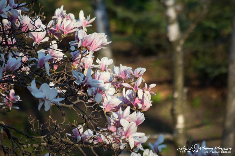 Sakura Cherry Blossom trees in High Park May 9, 2016