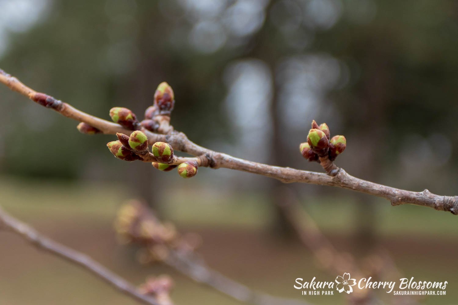 Sakura Watch April 16-2019-30.jpg