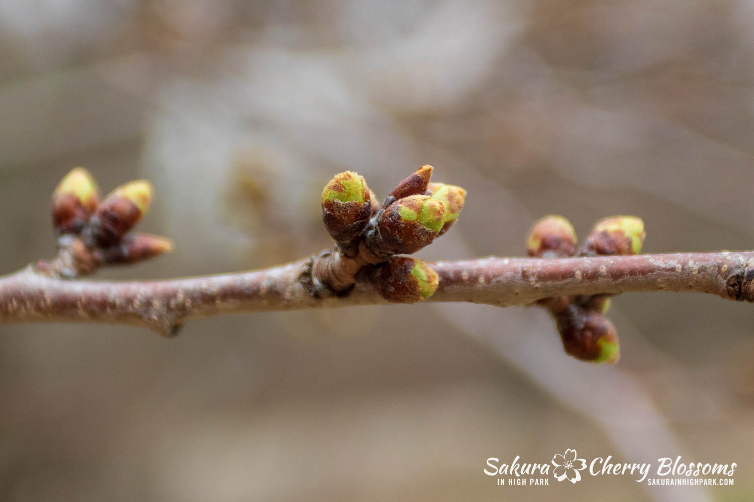 Sakura Watch April 16-2019-20.jpg